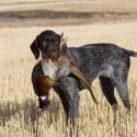 Bird Dogs: How Canine Companions Help to Hunt