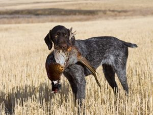 Bird Dogs and Hunting
