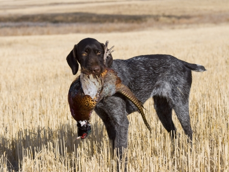 Image of: Pheasant Hunting Bird Dogs And Hunting American Kennel Club Bird Dogs How Canine Companions Help To Hunt Meadow Brook Game Farm