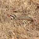 Chukar: From Import to Important Game Bird