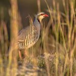 Chukar at Morning