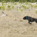 How Dogs Are Trained For Pheasant Hunts