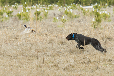 Dogs and Hunting Pheasants