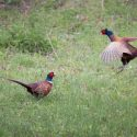 Mistakes to Avoid When Pheasant Hunting