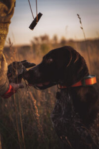 A dog gives a dead quail to a hunter