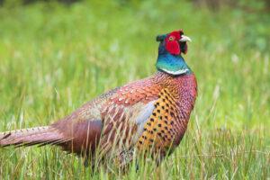 Pheasant In Grass